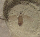 SUPERB FLY WITH ORIGINAL COLOUR PRESERVED - EOCENE, COLORADO, U.S.A.